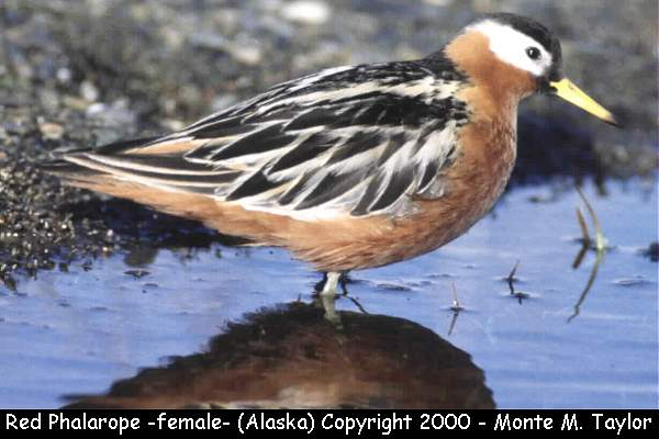 Red Phalarope -female/breeding-  (Barrow, Alaska)