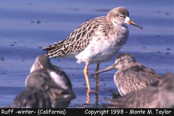 Ruff -winter-  (California)