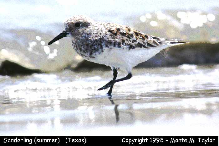 Sanderling -approaching breeding plumage-  (Texas)