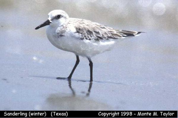 Sanderling -winter-  (Texas)