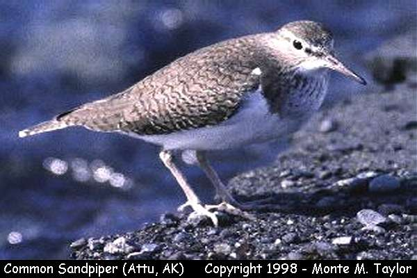 Common Sandpiper -breeding-  (Attu Island, Alaska)