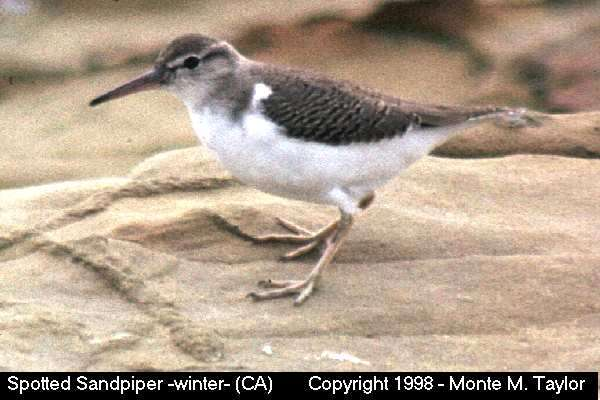 Spotted Sandpiper -winter-  (California)   (35082 bytes)