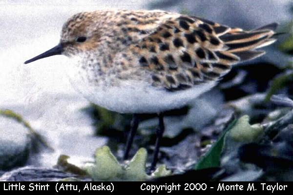 Little Stint -breeding-  (Attu Island, Alaska)