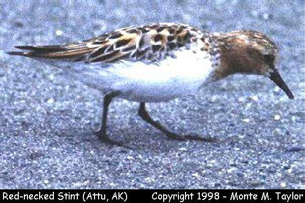 Red-necked Stint -breeding-  (Attu Island, Alaska)