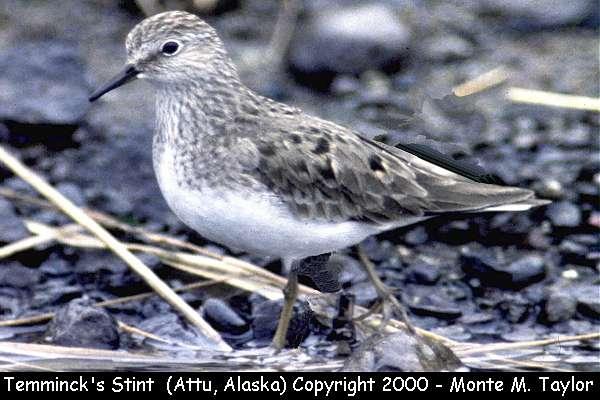 Temminck's Stint -breeding-  (Attu Island, Alaska)