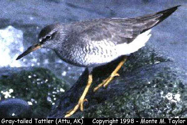 Gray-tailed Tattler -breeding-  (Attu Island, Alaska)