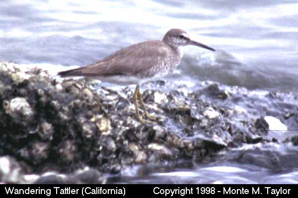 Wandering Tattler -winter-  (California)