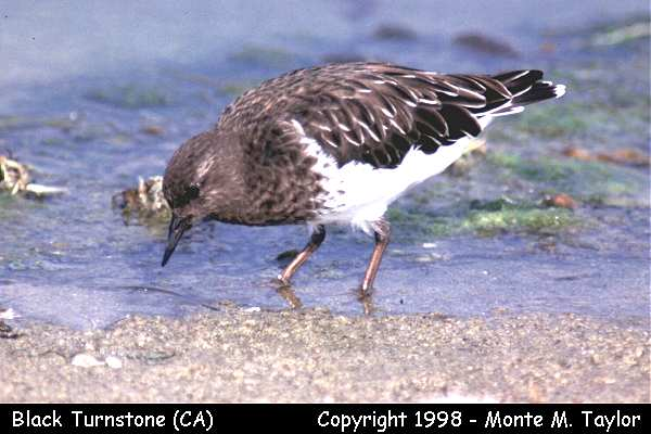 Black Turnstone  (California)