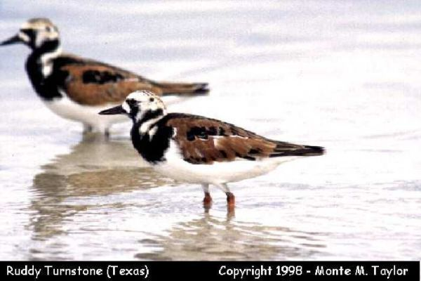 Ruddy Turnstone  (Texas)