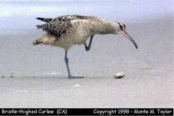 Bristle-thighed Curlew  (Point Reyes National Seashore, California)