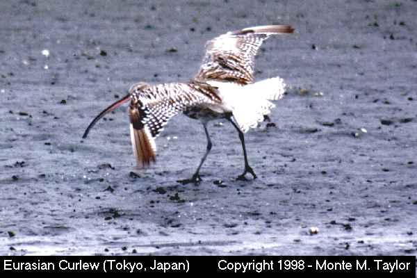 Eurasian Curlew  (Tokyo, Japan)