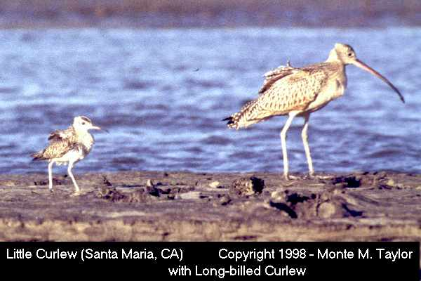 Little Curlew  - with Long-billed Curlew (Santa Maria, California)
