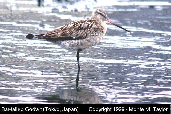 Bar-tailed Godwit -female/fall-  (Tokyo, Japan)