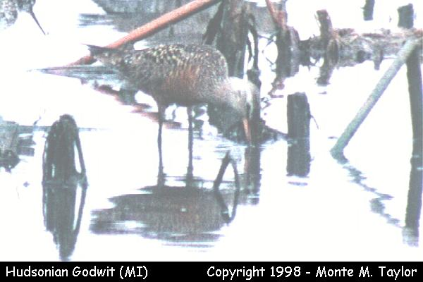 Hudsonian Godwit  (Michigan)