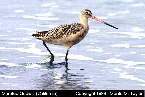 Marbled Godwit  (California)