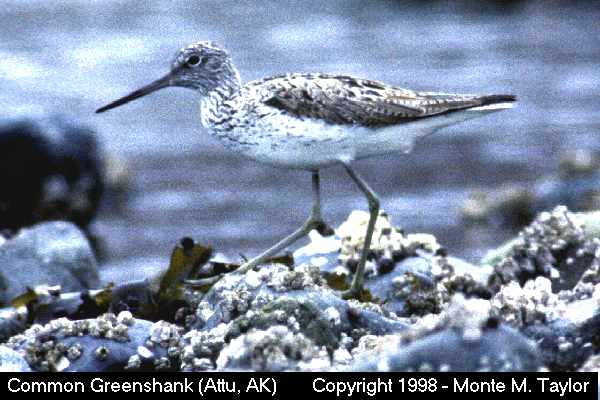 Common Greenshank  (Attu Island, Alaska)