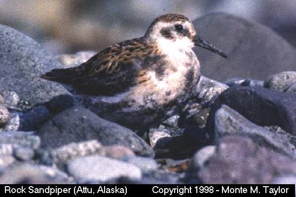 Rock Sandpiper  (Attu Island, Alaska)