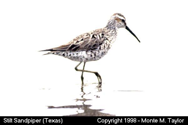 Stilt Sandpiper  (Texas)