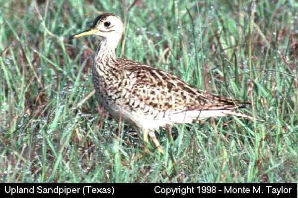 Upland Sandpiper (Texas)