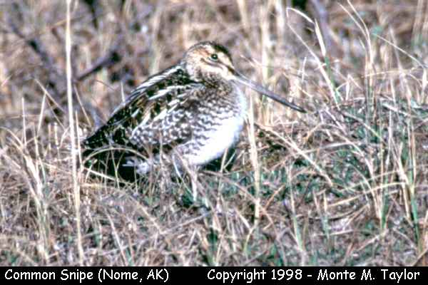 Common Snipe -breeding-  (Nome, Alaska)