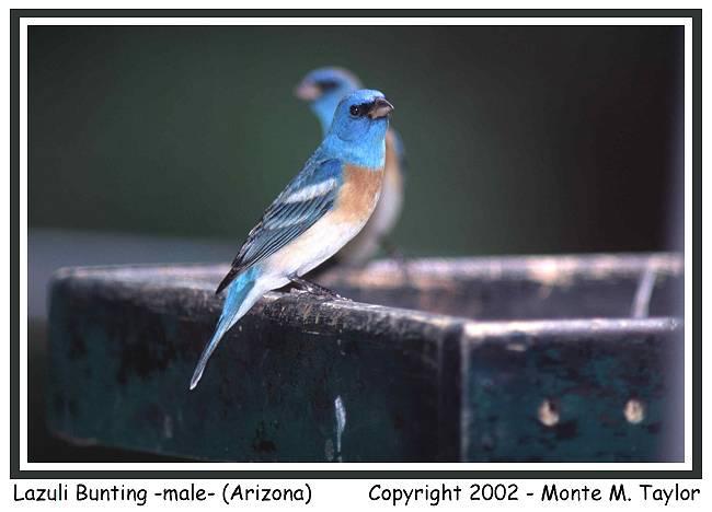 Lazuli Bunting -male-  (Arizona)