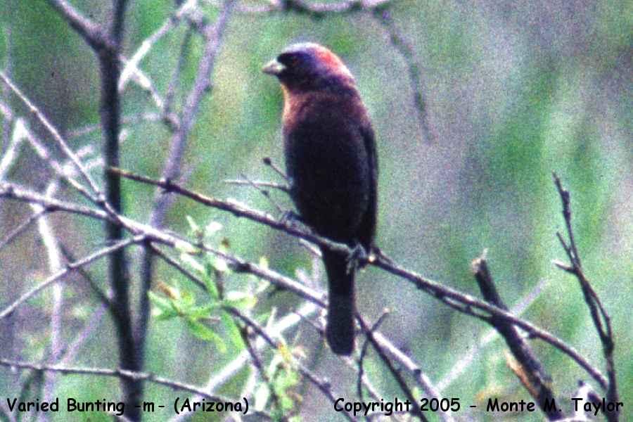 Vaired Bunting -male- (Arizona)