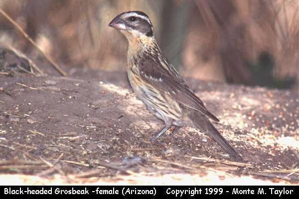 Black-headed Grosbeak -female-  (Arizona)
