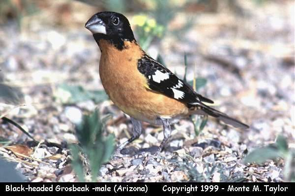 Black-headed Grosbeak -male-  (Arizona)