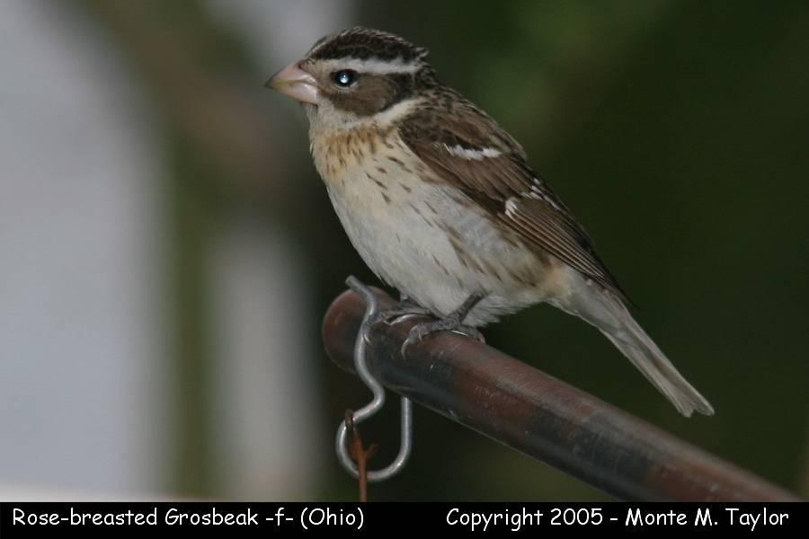 Rose-breasted Grosbeak (female) - Ohio
