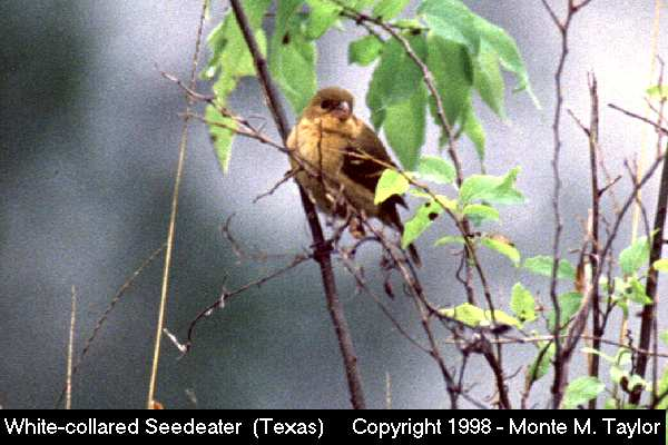 White-collared Seedeater -female-  (Texas)