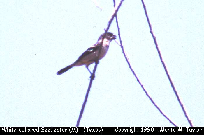 White-collared Seedeater -male-  (Texas)