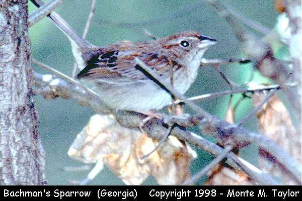 Bachman's Sparrow  (Georgia)