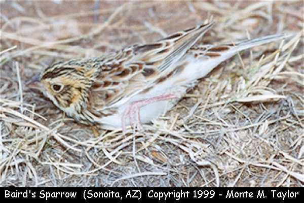 Baird's Sparrow  (Arizona)