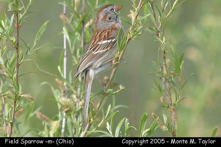 Field Sparrow (Ohio)
