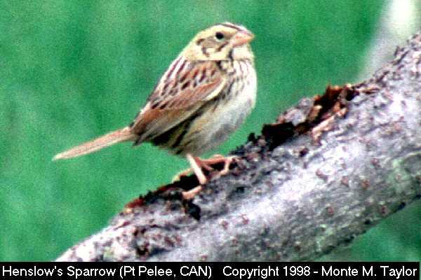 Henslow's Sparrow  (Pt. Pelee, Ontario, Canada)