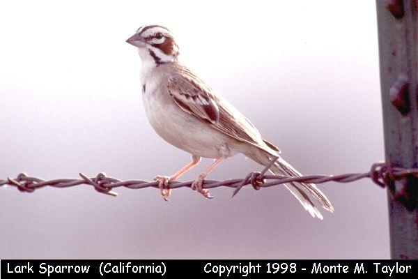 Lark Sparrow  (California)