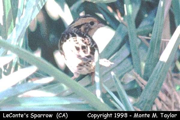 LeConte's Sparrow  (California)