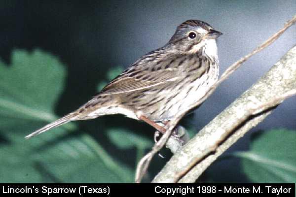 Lincoln's Sparrow  (Texas)