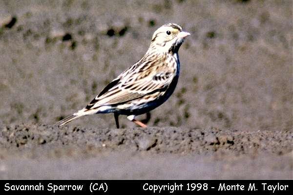 Savannah Sparrow  (California)