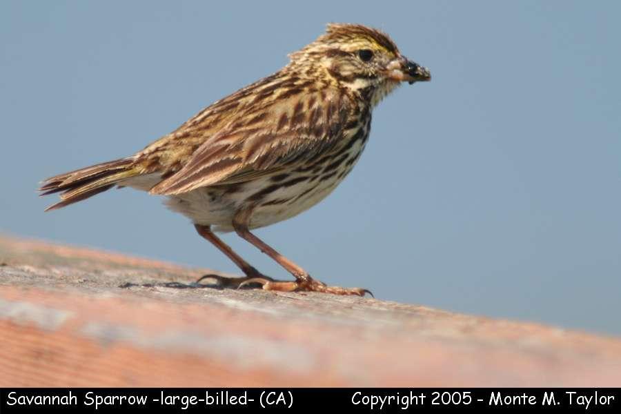 Savannah Sparrow -large-billed race- (California)