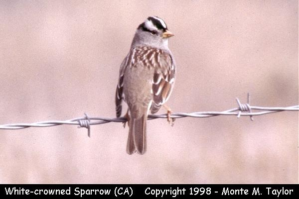 White-crowned Sparrow  (California)