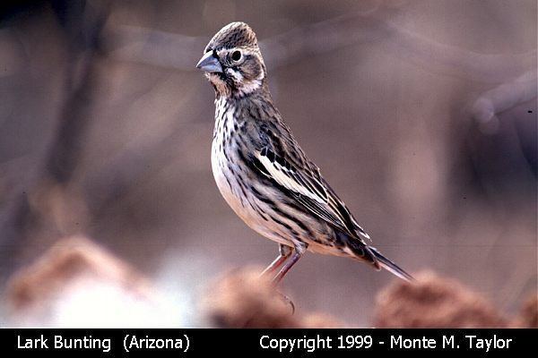 Lark Bunting -male/winter-  (Arizona)