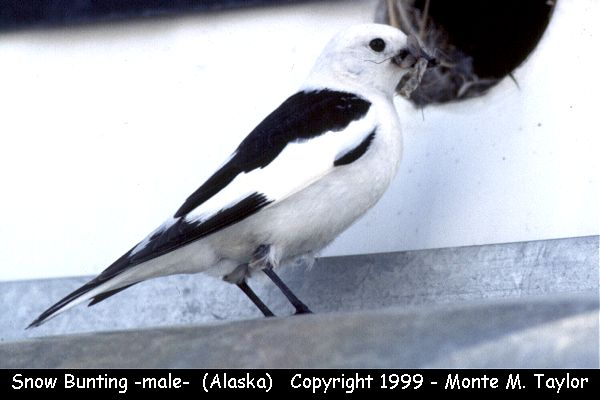 Snow Bunting -male-  (Barrow, Alaska)