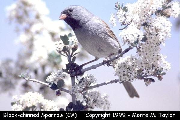 Black-chinned Sparrow  (California)