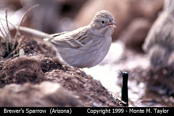 Brewer's Sparrow  (Arizona)