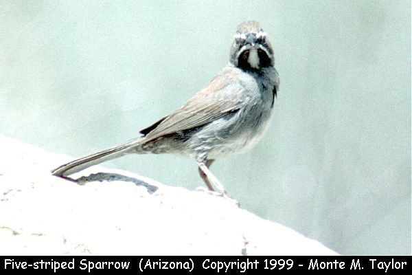 Five-striped Sparrow  (California Gulch, Arizona)