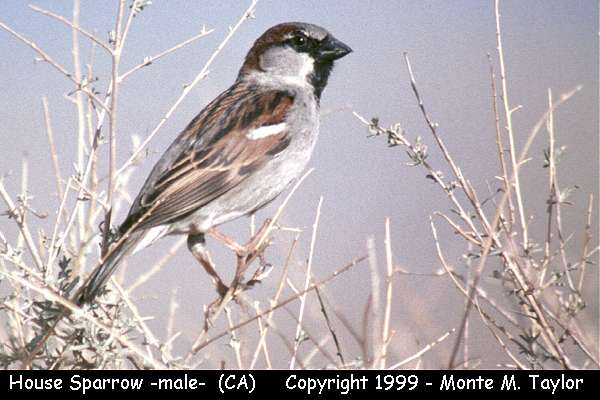 House Sparrow -male-  (California)
