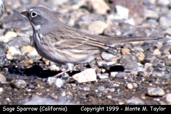 Sage Sparrow -interior- (Death Valley, California)