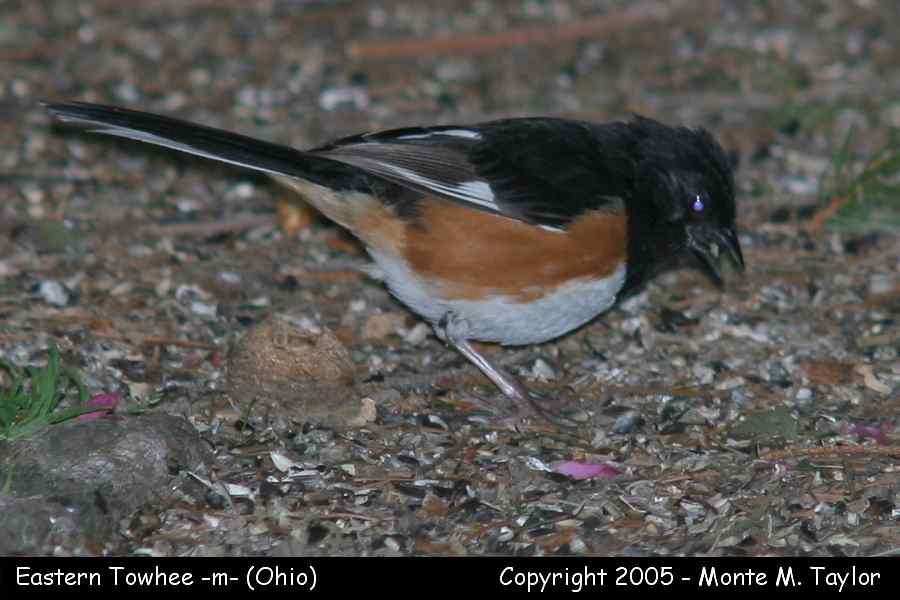 Eastern Towhee (male) - Ohio