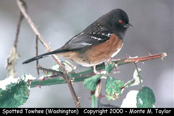 Spotted Towhee  (Vancouver, British Columbia, Canada)